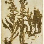 11. Achillea millefolium